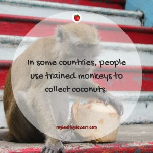 monkeys can be trained to collect coconuts